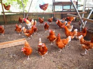 平飼い鶏舎